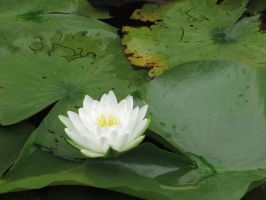 Water Lily by abbeydeath