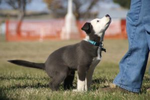 Border Collie Stock by Azaroe