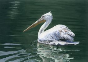 Dalmatian Pelican by birdaves