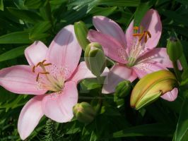 Pink Asiatic Lily 2 by racheltorres921