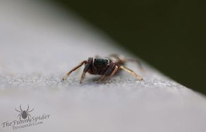 Ant mimic jumping spider by TheFunnySpider