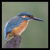 The King Fisher II by invisiblewl