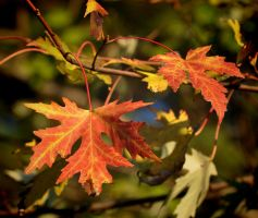 Fall Leaves 11-5-10 by Tailgun2009