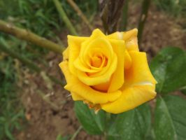 Yellow rose by Aby-of-N-city