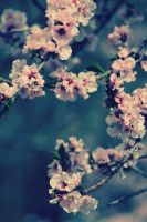 pink blossoms 2 by karcher-photography