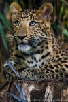 Chinese Panther 4_ stock img by sekhmet-stock