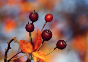 autumn berries by cloe-patra