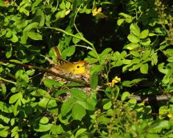 Yellow Warbler on it's nest by natureguy