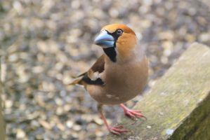 A hawfinch by Rajmund67