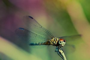 Blue Dasher by Spademm