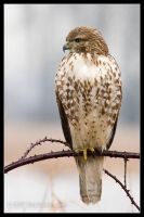 Red Tail Hawk 1 by AlexCphoto