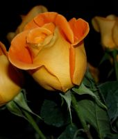 Orange rose stock 3 by anbdstock