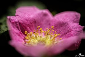 Over the Pink to the Gold by mjohanson