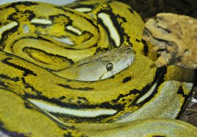 Platinum Tiger Retic by JayConstrictors12