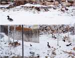 Backyard Ducks by AmandaTaylor