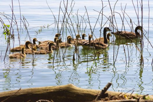 Family of Geese by laughlady99