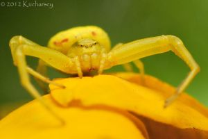 Misumena vatia by Dark-Raptor