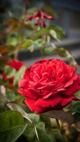 Rose iPhone 5 Wallpaper by afterdeath