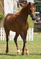STOCK - TotR Arabians 2013-92 by fillyrox