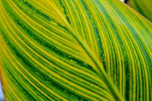 Canna leaf by lawout16