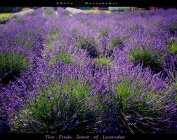 The Fresh Scent of Lavender by Ahava247