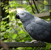 African Grey Parrot by Tienna