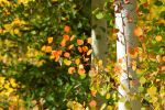 Colorado Aspen by smfoley