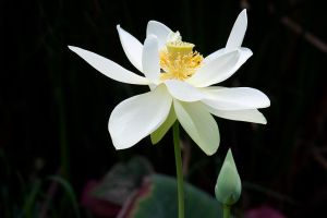 Lotus by secondclaw
