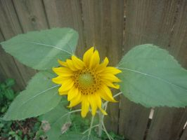 First Sunflower by RebeKahsOwnPlace