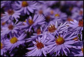 Violet Heath aster by Pildik