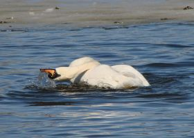 The Underturn - Mute Swan by roamingtigress