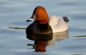 Common Pochard by parallel-pam