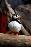 Puffin by XxQuothTheRavenxX