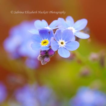 Lovely Forget Me Nots by Hitomii