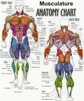 Musculature FRONT VIEW by OLUDAYONBA