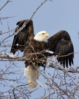 Eagle and Ice by DGAnder