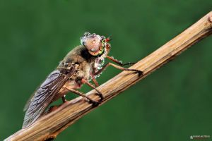 Horsefly by Hussain-AlMousa