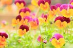 Pansies by TheMarchStudios