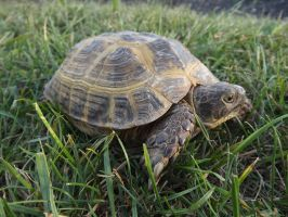 Tortoise Profile: Terralena by riverTurtle790
