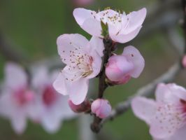 Flower Stock - Peach Blossoms 3 by Spyderwitch