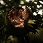 rotten apples. by lecumedesjours