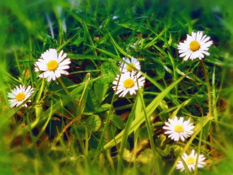 daisy in my back garden by 4dpaul