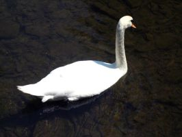 Swans 3 by Holly6669666