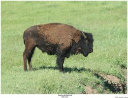 Young Buffalo Bull by hunter1828
