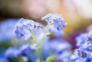 Forget Me Not by Jorgipie