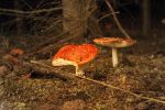red mushroom by GreenSlOw