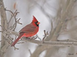 Winter Cardinal by Les-Piccolo