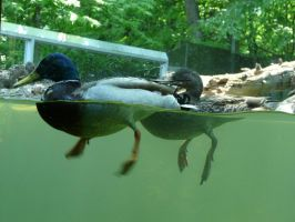 Duck 01 by Unseelie-Stock