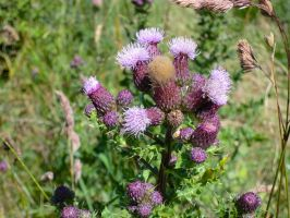 Thistles by MakinMagic
