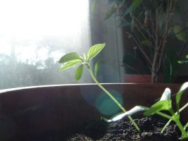 Little chili in the sun 1 by game-flea